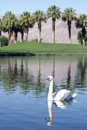 Swan in lake at desert resort with mountains and palm trees