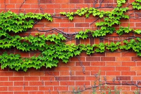 Ivy bladeren op een bakstenen muur achtergrond Stockfoto - 10031648