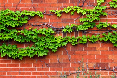 Ivy leafs on a brick wall background Stock Photo - 10031648