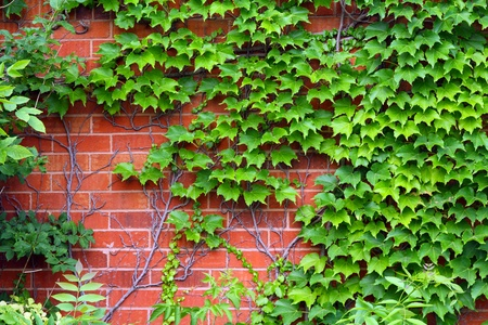 Ivy leafs on a brick wall background