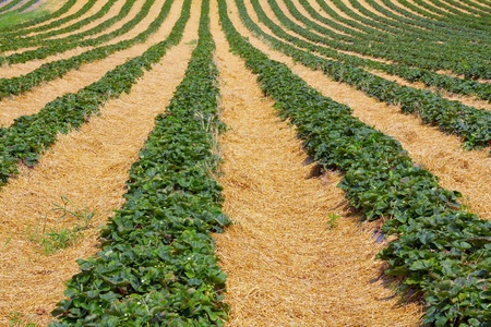 The rows of the berry beds alternately with the straw rows