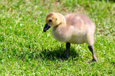 Young baby goose close-up picture