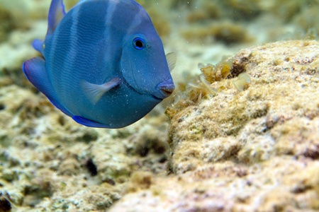 The closeup underwater image of blue tang fish Stock Photo