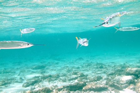 reef fish: Snorkelling with a group of balao fishes