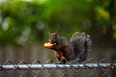 Squirrel eating the toasted bun on the fence, shallow focus photo