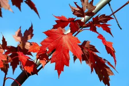 Red maple leaf on the blue sky background