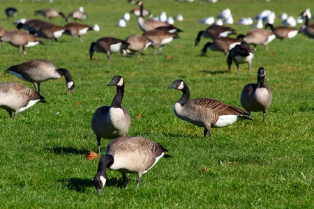 canada goose: Group of canadian geese on the green grass background, shallow focus
