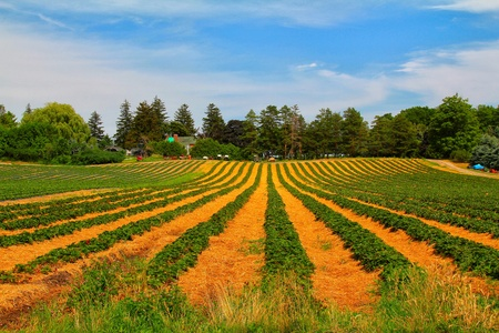 The view of the green and yellow strawberry field with blue sky Stock Photo