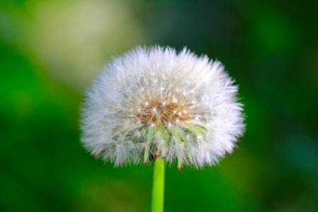 White dandelion on the green background close-up, shallow focus