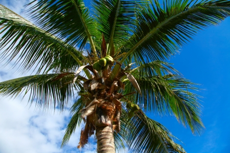 The view of the palm tree from below on the blue and white sky background. Varadero, Cuba Stock Photo