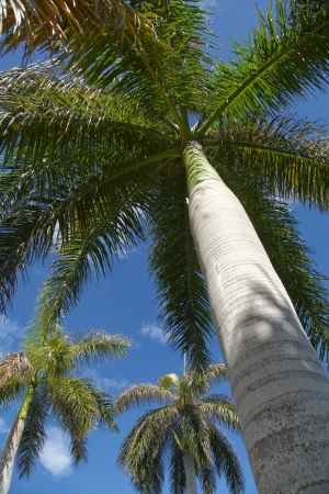 The view of the palm tree from below on blue sky background. Varadero, Cuba