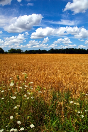 The view of the golden wheat on the blue sky background