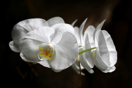 Group of white flowers on the dark background. Close-up, shallow focus.