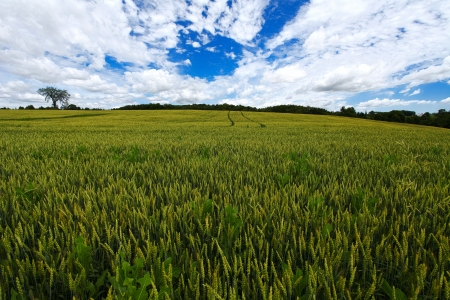 Wheat field on the white blue sky and clouds background Stock Photo