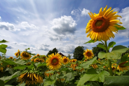 Yellow sunflowers on the blue sky and green background