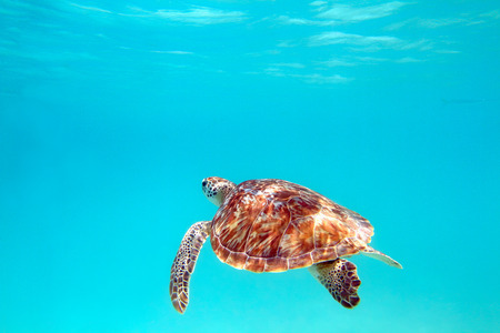 gulf of mexico: Close-up shot of a turtle under water, shallow focus. Riviera Maya, Mexico