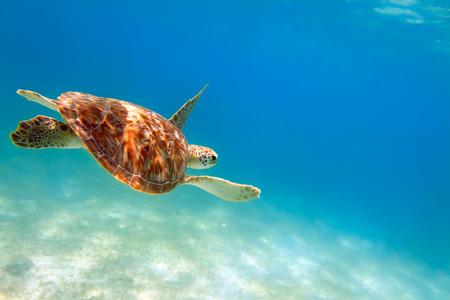 riviera maya: Close-up shot de una tortuga bajo el agua, foco superficial Riviera Maya, M�xico