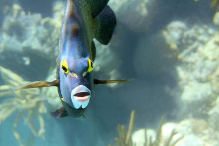 Close-up shot of the french angelfish  Shallow focus  Riveiera Maya