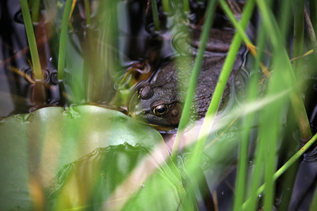 Browngolden frog in a water with green stemsleaves  Stock Photo