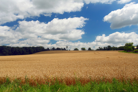 Yellow wheat field on the whiteblue sky and clouds background Stock Photo