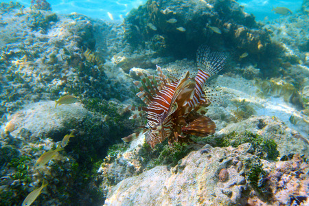 Lionfish on the blue water background, shallow focus, Cayo Coco