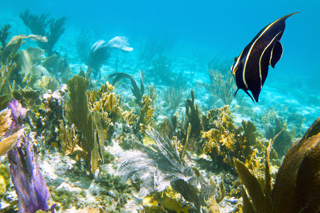 Close-up shot of the young angelfish. Shallow focus. Cayo Coco