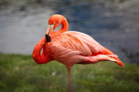 Close-up shot of the pink carribean flamingo, shallow focus Stock Photo