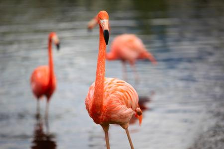 Close-up shot of the pink carribean flamingo, shallow focus.