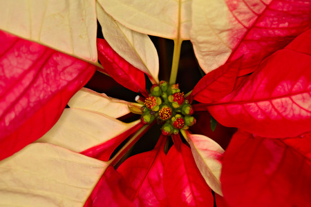 Close-up shot of Poinsettia, the cristmas flower, shallow focus