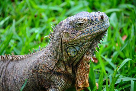 Green lizard iguana on the green grass background, shallow focus Фото со стока
