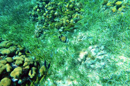 French Angelfish on the seaweed and corals background