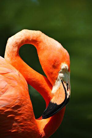 Caribbean Flamingo, shallow focus Stock fotó
