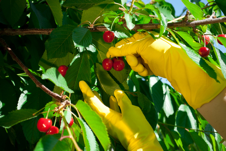Red pink ripe large cherry on a branch, hands in yellow rubber gloves. Foliage tree, spring garden sunny day, giving a harvest Stok Fotoğraf