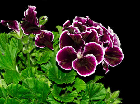 Wonderfull garden Geranium flowering in the dark  Stock Photo