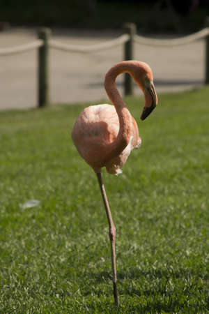 Flamingo standing on one foot Stock Photo