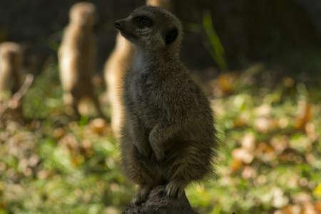 Suricata suricatta, meerkat