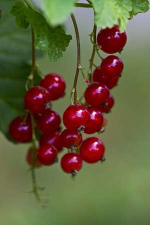 ripening redcurrant Stock Photo