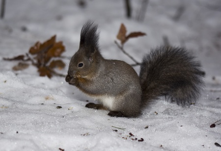 The squirrel on snow photo