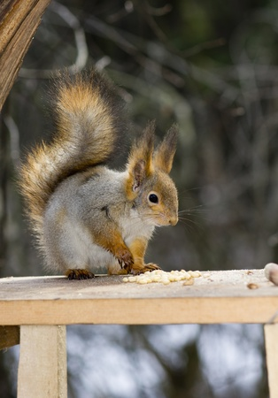 The squirrel, a close up, nuts Stock Photo - 12174827