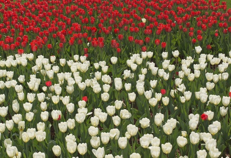 Tulips Stock Photo - 13511471
