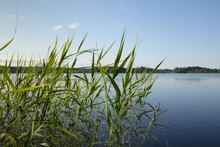 reeds: Reed on the bank of the lake. Stock Photo
