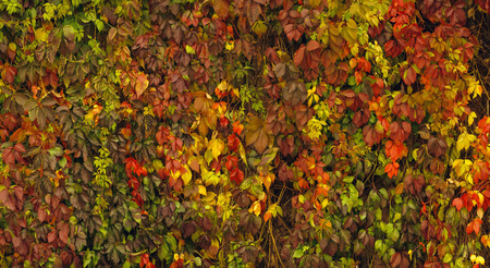 twined: The wall twined wild grapes in the fall.