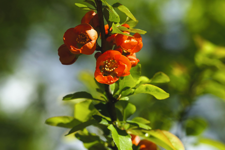 Blossoming Japanese quince.