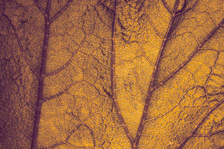 Autumn. Yellowed autumn leaf, shot through, close-up.