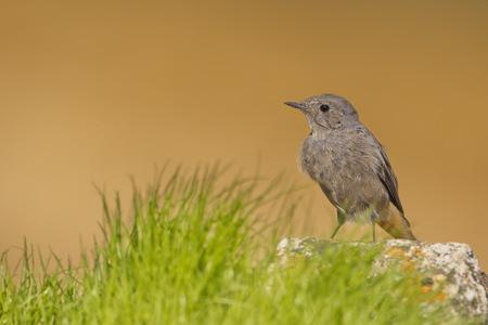 The black redstart (Phoenicurus ochruros) is a small passerine bird in the redstart genus Phoenicurus.