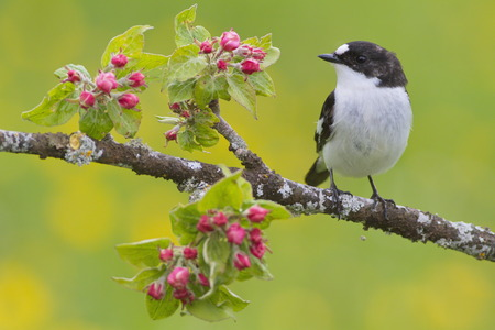 A Pied flycatcher (Ficedula hypoleuca) on the branch of an apple tree with flowes.