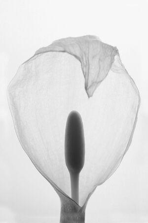 A flower of the plant species Arum italicum.