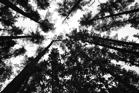 Black and white photography from inside the pine forest.