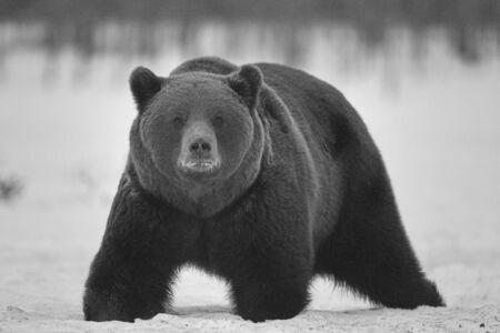A brown bear (Ursus arctos) in the taiga. Khumo, Finland. Stock Photo