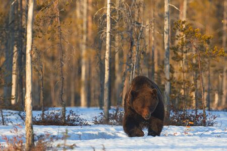 A brown bear (Ursus arctos) leaving the forest at sunset. Khumo, Finland. Stock Photo